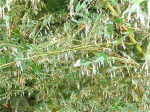 中国竹网:竹树开花的影响
