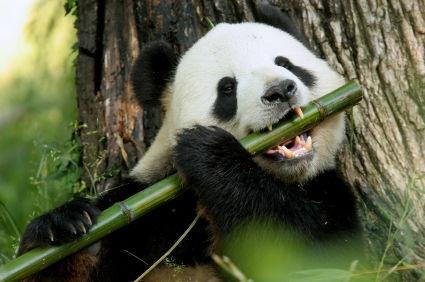 爱吃竹子的大熊猫为何变成了食肉动物